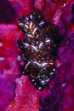 Animals of impossible hues and colors, such as this flatworm, are commonplace in Lembeh.