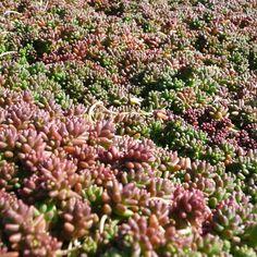Drought Resistant Perennial Groundcover - SEDUM album Coral Carpet Jeepers Creepers USA Perennial Sedums