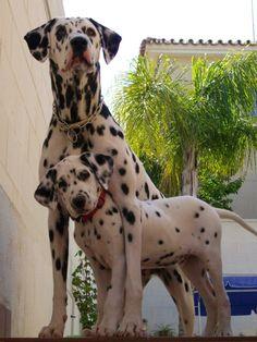 Dalmatians........