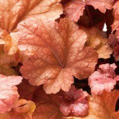 Heuchera Peach Melba. Like the orange leaves as contrast to other plants. Foliage changes colors with the seasons, pink flowers. Very cold hardy, part shade to shade, can be grown in a planter. From Proven Winners.