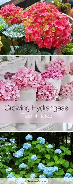 Growing Hydrangeas • Lots of Tips Ideas!