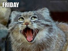 Pallas cat days of the week