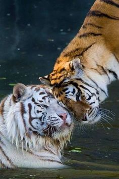 Tiger and White Tiger Head Bump