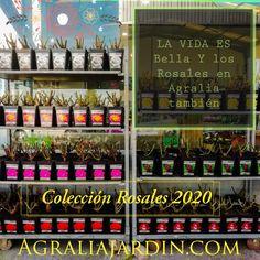 6 variedades perfumadas y ademas la black baccara granate oscura, nuestra debilidad. Black Baccara, Liquor Cabinet, Home Decor, Garden Centre, Life Is Beautiful, Rose Trees, Garnet, Decoration Home, Room Decor