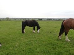 After a great start to his education, Chester is enjoying a few days on grass to fill his belly. Chester, Grass, Fill, Cow, Ireland, Horses, Education, Animals, Animaux