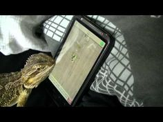haha, bearded dragon trying to lick the ants off the smartphone game.