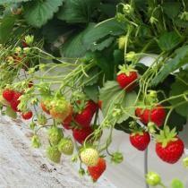 fraisiers comment planter pailler et entretenir un. Black Bedroom Furniture Sets. Home Design Ideas
