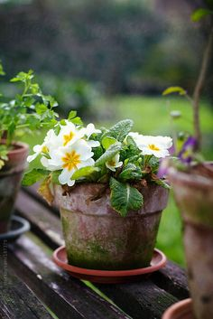 Garden, spring: detail of white primroses flowering in covered in moss clay pot on wooden bench