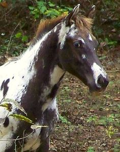 Appaloosa colt with absolutely fabulous and unusual color. photo: LOMtnMom.  Maybe some Pintaloosa?