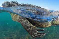 Photograph by @thomaspeschak Marine iguanas are the world's only lizards that feed in the ocean and graze on seaweeds. This unique trait however comes at a price. The Pacific in the western reaches of the Galápagos Islands is cold and the iguanas can only feed for a few hours at a time. For the rest of day they embrace the sun baked volcanic rocky shores to regain as much heat as possible. Shot on assignment for @natgeo magazine for the June 2017 story on climate change and the Galápagos…