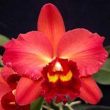 Potinara Orchid (Chyong Guu Sun x Odom's Sweetheart) 'Hawaii' (Potinara hybrid) Exotic Plants, Exotic Flowers, Tropical Flowers, Tropical Plants, Indoor Plants Online, Plants For Sale Online, Red Orchids, Types Of Orchids, Orchid Varieties