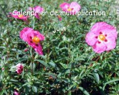 Calendrier de multiplication juin Bouturer des plantes en juin