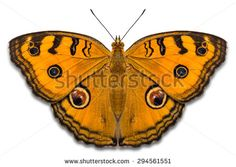 Close up of Peacock Pansy (Junonia almana) butterfly, isolated on white background with clipping path - stock photo