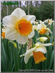 Tropical Sunset  Trumpet Daffodil