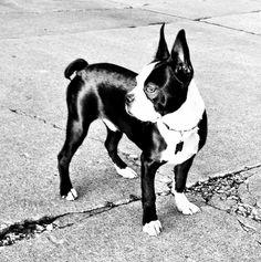 Boston Terrier Jeeves