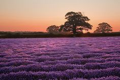 LAVENDER DAWN - The Lavender field at Faulkland, Somerset at dawn.