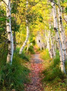 Birch trees, Acadia National Park, Maine