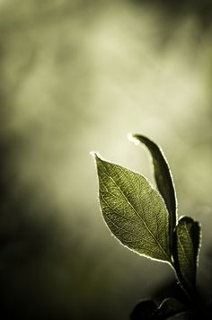Bokeh leaves in olive green by VoyageVisuelle Vert Olive, Olive Green, Mint Green, Foto Macro, Fotografia Macro, Macro Photography, Shades Of Green, Colour Shades, Olives