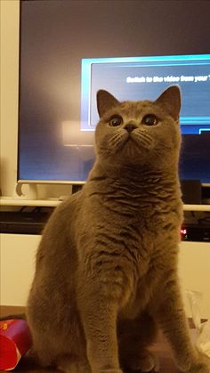 Lola Cat | Pawshake