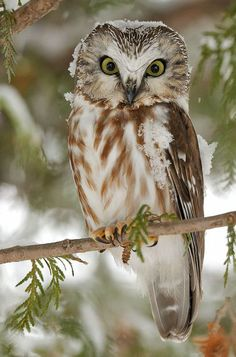 And beautiful. Northern Saw Whet Owl photographed by Lise De Serres. #owls #bird
