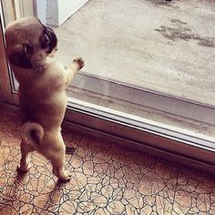 When will mommy come home? - Shot By @roxy.thepug #qtpugs