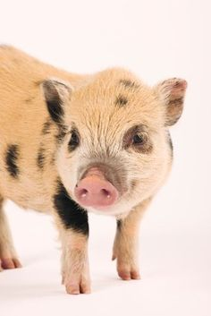 Find out how to bond with your new baby pot bellied pig and the best way to socialize and train them without stressing them out.