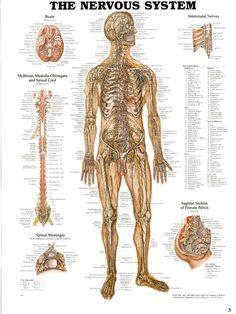 układ nerwowy - Szukaj w Google