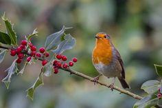Photograph christmas robin by Kelvin Rumsby on Cardinal Bird House, Cardinal Birds, Robin Day, Robin Bird, European Robin, Robin Redbreast, Watercolor Circles, Birds And The Bees, Colorful Birds