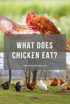 what-does-chicken-eat-pin