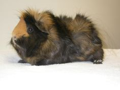 There are many different breeds of guinea pigs from long haired to shorter haired varieties. Here is ad Different Types of Guinea Pig Breeds. Baby Guinea Pigs, Guinea Pig Care, Guinea Pig Breeding, Cute Piggies, Cute Hamsters, Pet Rabbit, Rodents, Mammals, Cute Animals