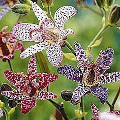 Toad Lillies {shade garden} These bloom SO very pretty Shade Flowers, My Flower, Beautiful Flowers, Summer Flowers, Lilies Flowers, Asiatic Lilies, Blooming Flowers, Fall Flowers, Beautiful Gorgeous