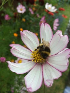 The bees are still enjoying out Cosmos :D October 2015