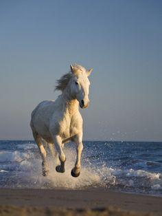 Camargue Horse (Equus Caballus) Running on Beach, Camargue, France