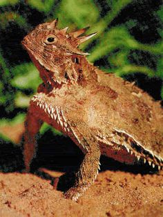 """Texas Horned Toad or """"Horny Toad"""" used to thrive but is now an endangered species."""