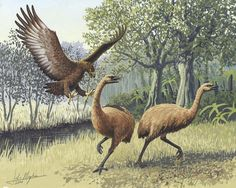 The Haast's eagle is an extinct species of eagle that once lived in the South Island of New Zealand, commonly accepted to be the Pouakai of Maori legend. The species was the largest eagle known to have existed. Extinct Birds, Extinct Animals, Species Extinction, Flightless Bird, Prehistoric Creatures, Prehistoric Wildlife, Big Bird, Birds Of Prey, Flying Birds