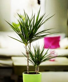 Dracaena Marginata Care Like most Dracaenas marginatas will give you best results in bright yet indi Lower Lights, Gerbera, Bright Lights, House Plants, Flora, Leaves, Apartment Gardening, Bleach, Period