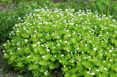 tuoksumatara - Google-haku Shade Garden, Garden Plants, Herbs, Google, Flowers, Herb, Medicinal Plants