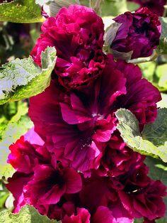 Stokroos. Deze plant is geschikt voor de ondersteuning door de   Solitairpin van www.detuinfee.nl. Verkrijgbaar in 4 hoogtes.