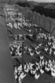 Poultry Farm - Manzanar War Relocation Center, by Ansel Adams