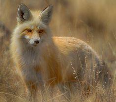 llbwwb: (via / Wyoming Wind River Fox by Brent Morris) All Gods Creatures, Cute Creatures, Bff, Fox Spirit, Fabulous Fox, Silver Foxes, Fox Hunting, Red Fox, Wyoming