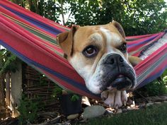 Continental Bulldog, Boston Terrier, Dogs, Animals, Boston Terriers, Animales, Animaux, Pet Dogs, Doggies