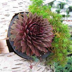 Rustic Birch Succulent Container