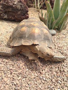 10 Best Tortoises images in 2016   Sea turtles, Sulcata