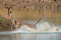 #India, Tiger attack @StefanCruysberghs