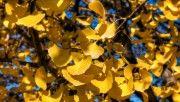 hd yellow ginkgo leaves wallpaper download