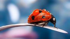 Macro Insects Ladybug Dew Drops Animal, funny animal background desktop, ipad, mobile, iphone
