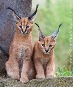 Caracal: Felino de tamaño medio que vive en las sabanas y semidesiertos de África y el oeste de Asia, desde Turquía al sur de Kazajistán y el noroeste de la India. Wikipedia