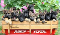 GSD Puppies !!