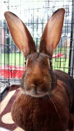 Ruby, a Belgian Hare