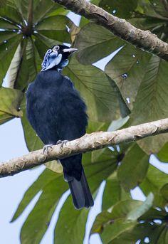 Anambé-pombo, Anambé-azul, Anambé-grande, Anambé-Pitiú ou Pombo-anambé (Gymnoderus foetidus)